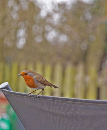 tame: The Robin is one of the most popular garden birds,this image is the male of a pair that nest in our garden.