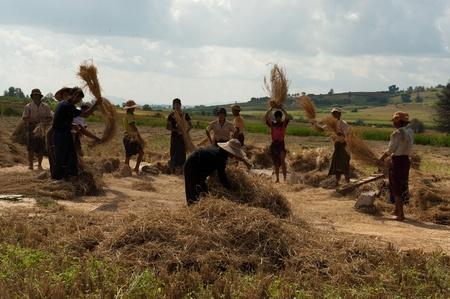 threshing: Rice Threshing, Shan State, Myanmar