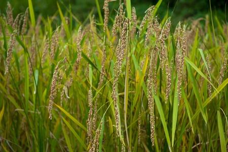Sticky Rice Banco de Imagens