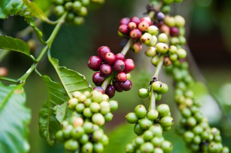 ripening: Ripening Coffee Beans, Buon Ma Thuot Stock Photo