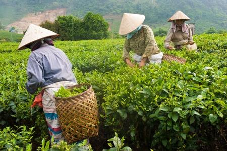 Cueillette du thé