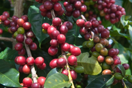 bush bean: Ripening Arabica Coffee Stock Photo