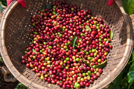 bush bean: Harvested Coffee Bean Cherries Stock Photo