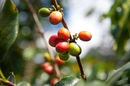 cau: Ripe Arabica Coffee
