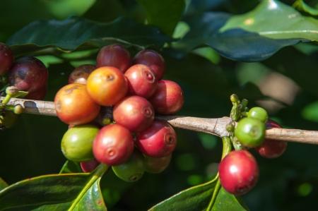 Ripe Arabica Coffee