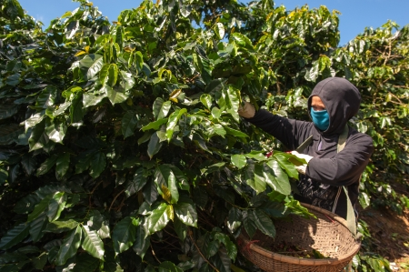 bush bean: Coffee Harvest