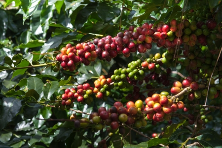 bush bean: Ripe Arabica Coffee Beans