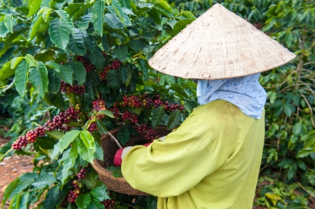 cau: Coffee Bean Harvest, Dalat, Vietnam