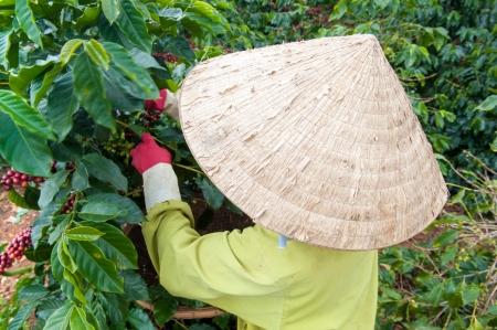 dat: Picking Caff� in Dalat, Vietnam