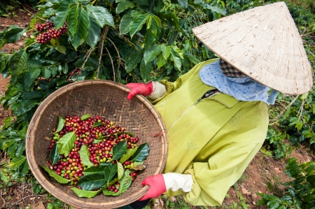 cau: Coffee Bean Harvest, Vietnam