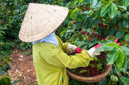 cau: Picking Arabica Coffee, Vietnam