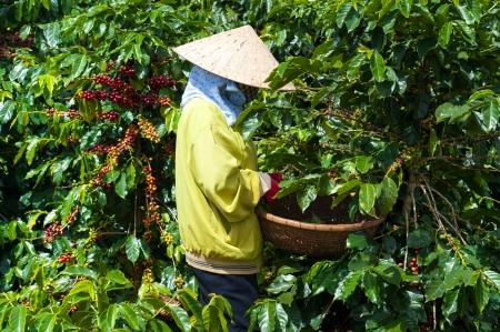 dat: Raccolta Caff� Arabica in Vietnam