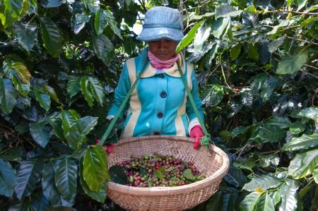 cau: Coffee Harvesting in Vietnam