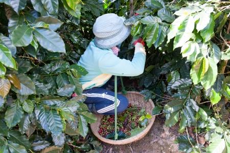 dat: Picking chicchi di caff� in Dalat, Vietnam