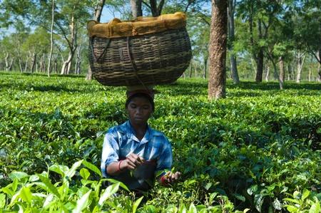 assam tea: Tea Harvester in Assam, India