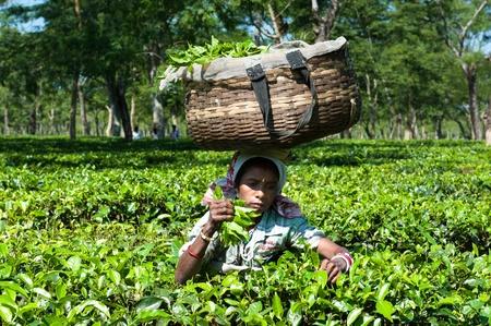 assam tea: Plucking Tea Leaves in Assam
