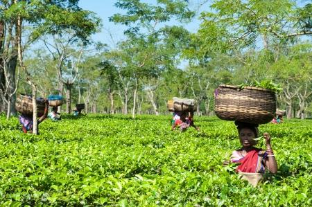 assam tea: Tea Harvesting in Assam
