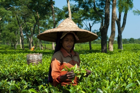 assam tea: Tea Picker in Assam Editorial