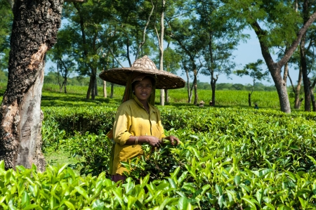assam tea: Lady Tea Plucker in Assam