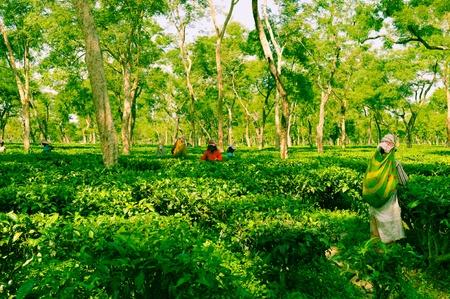 assam tea: Tea Plantation in Assam