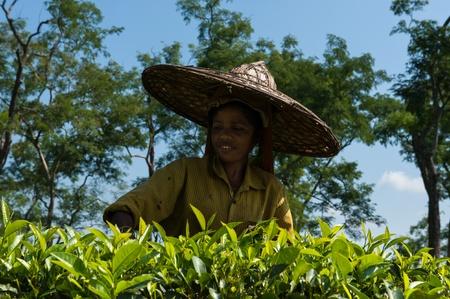 assam tea: Tea Picking, Assam