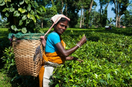 assam tea: Assam Tea Picker Editorial