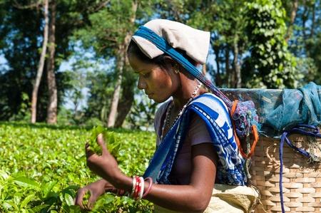 assam tea: Tea Picking in Assam