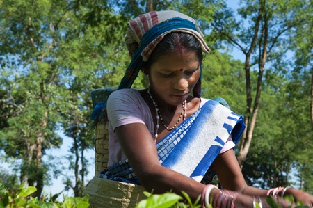 assam: Assam Tea Harvest