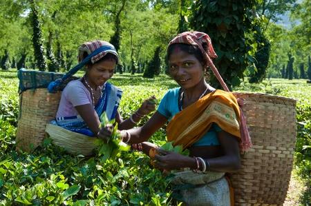 assam: Tea Harvesting in Assam