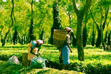 assam tea: Assam Tea Harvesting