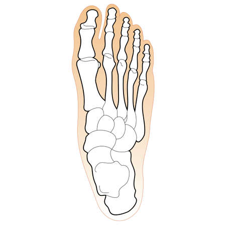 Bones of the Human Foot Vector