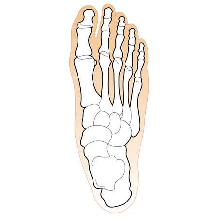 huella pie: Huesos del Pie humano Vectores