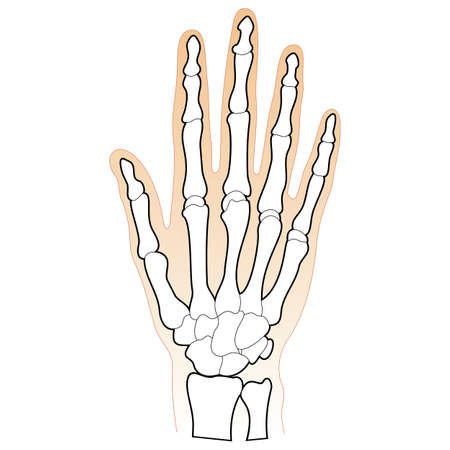 chiropractor: Bones of the Human Hand Illustration