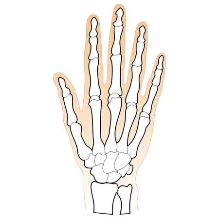 distal: Le ossa della mano umana Vettoriali