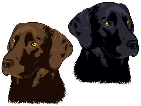 hunting dog: Chocolate and Black Labs Illustration