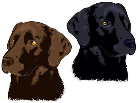 perro labrador: Chocolate y Negro Labs