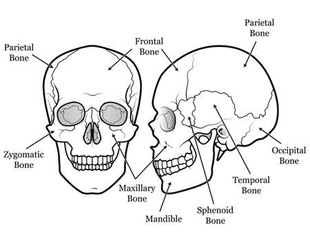 eye socket: Human Skull Chart