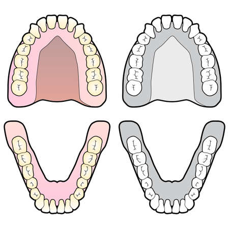 dental hygienist: Tooth Chart