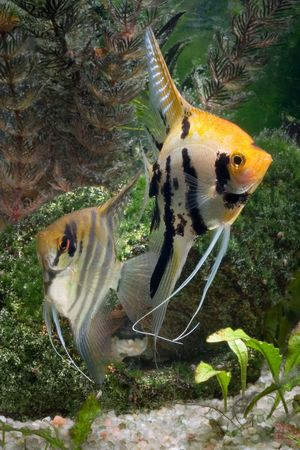 pterophyllum: Two Angelfish in a tropical fish tank