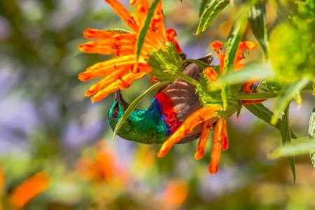 Southern Double-collared Sunbird  Cinnyris chalybeus , male, upside down, with bright red and blue bands and iridescent green head feeding on orange flowers on shrub,  Wildedagga or Leonotis leonurus