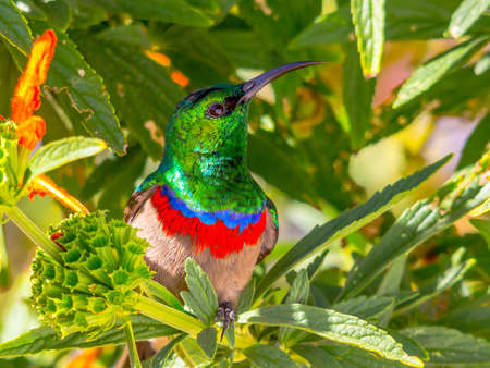 Southern Double-collared Sunbird  Cinnyris chalybeus , male, with bright red and blue bands and iridescent green head, close up facing camera, looking upwards