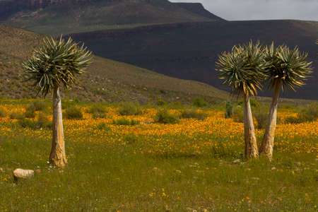 Landscape picture with Aloes and orange daisies photo