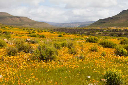 Lanscape picture of wild orange daisies in shallow valley Stock Photo