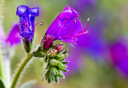 BlueWeed, Echium Plantagineum, Exotic Plant with Pink and blue flowers in Western Cape South Africa