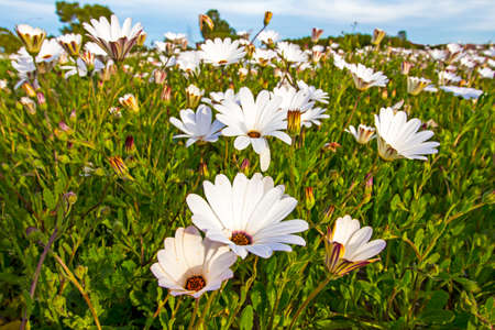 Closeup of Field of White Wild Daisies