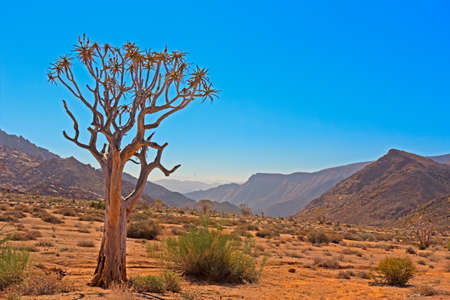 Kokerboom Tree in Arid Valley Richtersveld Stock Photo