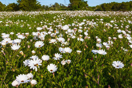 Enormous field of white daisies in residential area, Western Cape, during spring