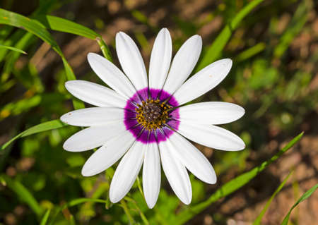 Large daisy known in Afrikaans as a rain flower with white petals and a purple ring and yellow pollen