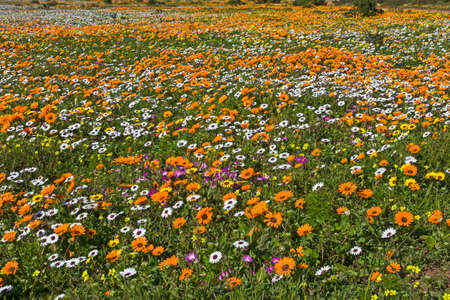Field Filled with Orange White and Yellow Spring Flowers