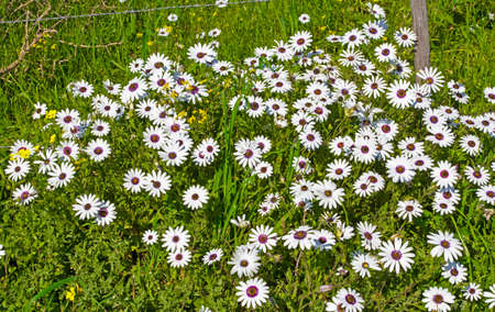 White daisy wildflowers with purple centers